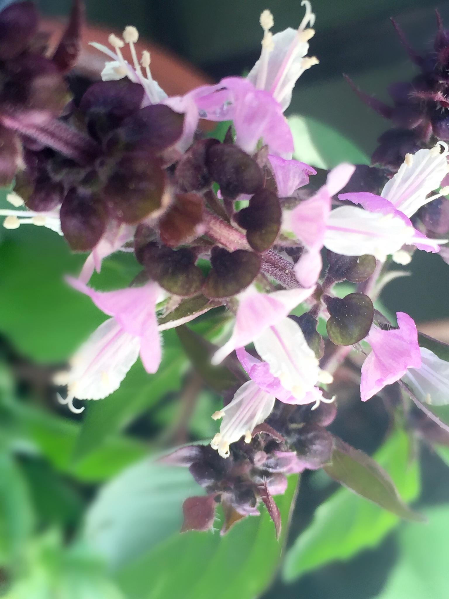 Basil in bloom